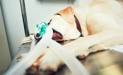 Dilomado en analgesia y anestesia veterianaria
